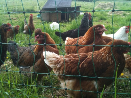 Hens next door