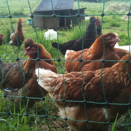 Hens next door
