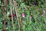 Sweet Pea's for thepicking