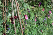 Sweet Pea's for the picking